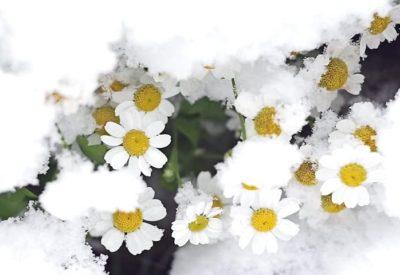 romashki-v-snegu