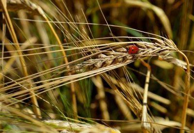 cornfield-5544546_640