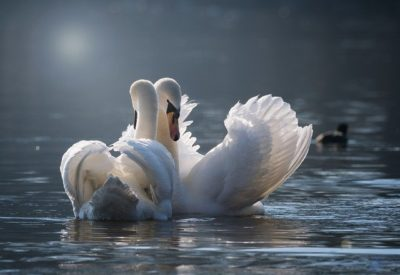 swan-4013225_640