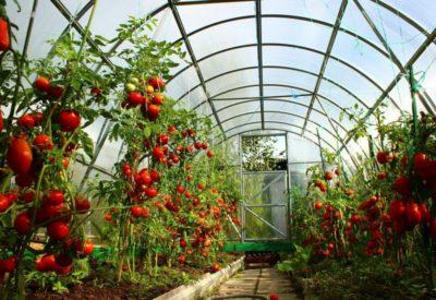 pomidorn