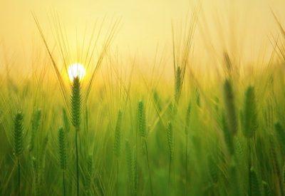 barley-field-1684052_640
