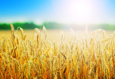 Yellow wheat field in sunny day
