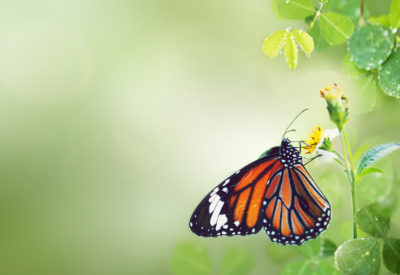 butterfly-wild